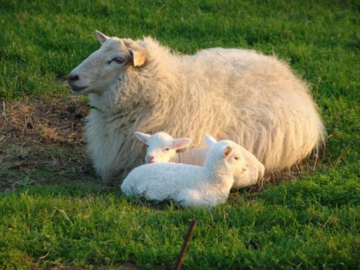 mamá oveja con sus bebés | Una Terrícola